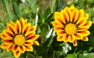 勋章菊种植