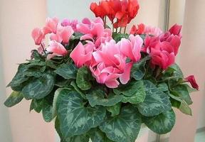 入室越冬的盆花应在何时出房培养