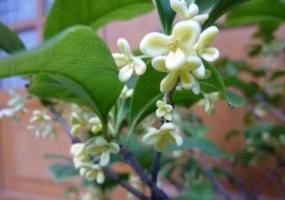 四季桂和蜡梅怎样繁殖