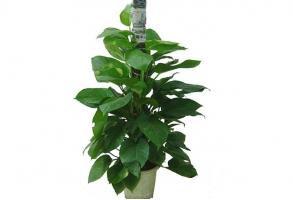 什么是观叶植物图腾柱