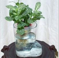 怎样用鱼缸或玻璃瓶栽培观叶植物
