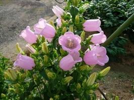 风铃草种植:风铃草种子种植