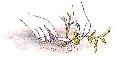 家庭养花少量扦插有无方便易行的简单方法