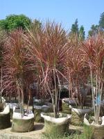 怎样栽培管理七彩细叶龙血树