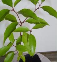 香樟树种植:播种以沙质壤土为好