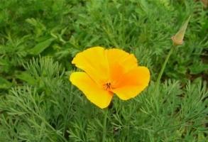 花菱草种植:花菱草什么时候播种
