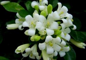 九里香的养殖方法:繁殖可用播种和扦插法