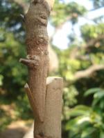 砧木的选择原则是什么