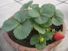 草莓种植:勤浇水但不能有积水