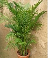 散尾葵的养殖方法:散尾葵怎么养:散尾葵的养殖方法和注意事项