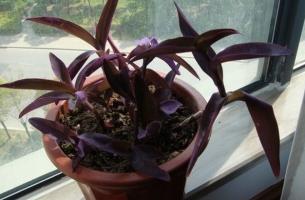 紫叶鸭跖草繁殖:扦插繁殖