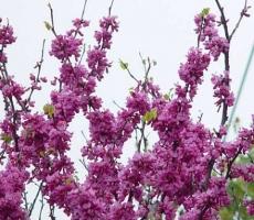紫荆应怎样科学繁殖