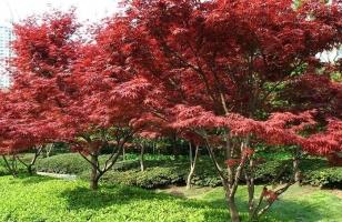 怎样科学繁殖红枫
