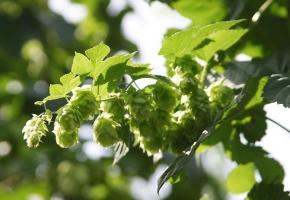 怎样培植啤酒花