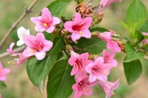 锦带花养护有哪些要点