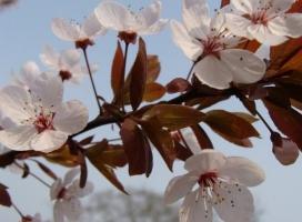 红叶李种植