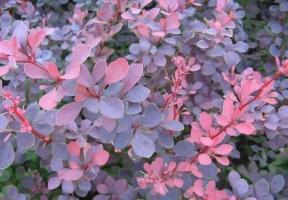 红叶小檗盆景为何叶色不鲜艳