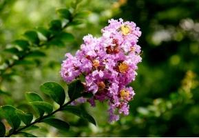 紫薇树种植