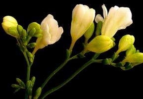 怎样使晚香玉年年开花