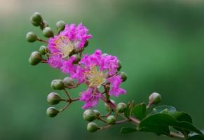 怎样使紫薇年年繁花满树