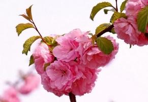 怎样控制榆叶梅的花期:每日早中晚各喷1次水,室温保持在18℃以上