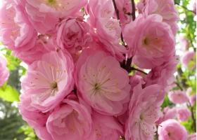 榆叶梅有哪些特性?怎样栽培