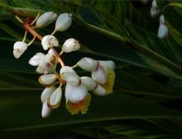 山姜花养护有哪些要点