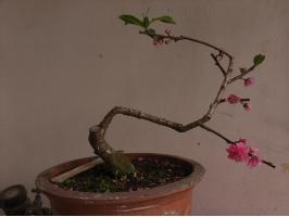 盆栽桃花养护有哪些要点