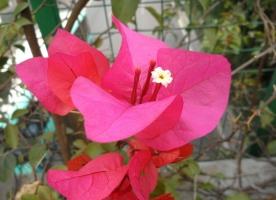 在家中能养好叶子花吗