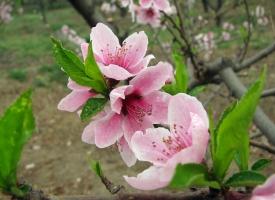 桃花应怎样进行栽培管理