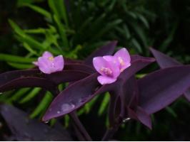 紫鸭跖草有何特性,怎样栽培