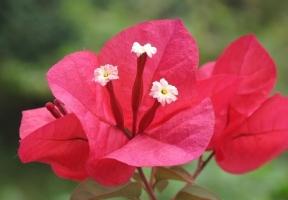 种植叶子花有哪些要领