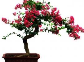 盆花为什么落蕾、落花、落果