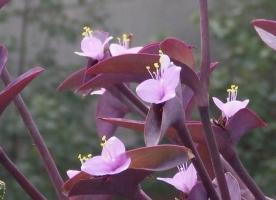 如何快速繁殖紫叶鸭跖草