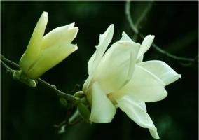 白兰花靠接繁殖时应注意些什么
