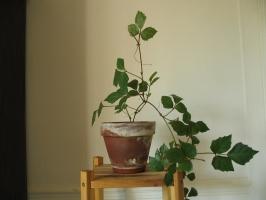 菱叶粉藤养护需注意些什么