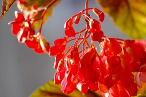 蟆叶海棠有哪些特性与园艺品种