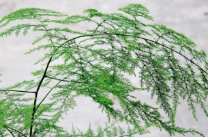 怎样分株繁殖文竹