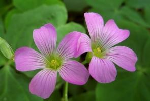 红花酢浆草养护应注意些什么