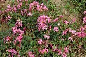 匍匐紫薇有何特征