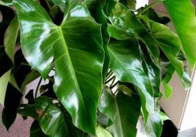 长心叶蔓绿绒养护有哪些要点