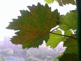 盆栽葡萄叶片桔焦怎么办