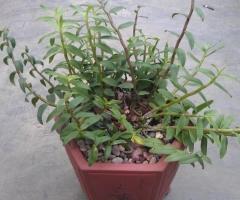 石斛有哪些栽培方式与养护要点