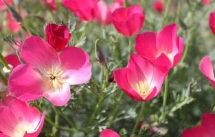 培养花菱草应注意些什么