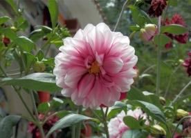 大丽菊有哪些种类