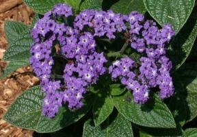 香水草有哪些特性与怎样繁殖