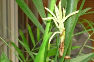 竹子开花了怎么办