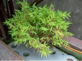 竹类盆景叶片为何会焦梢