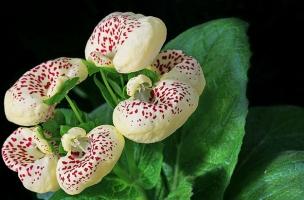 怎样让蒲包花在元旦、春节开花
