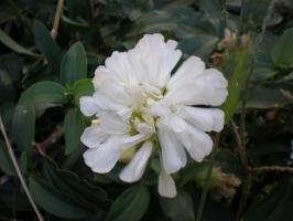石碱花养护有哪些要点